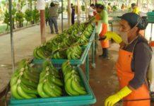 El 2017 fue un buen año para la exportación de banano desde Ecuador